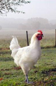 Puiul de Bresse - Singura pasare cu DOC