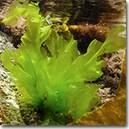 Alge de Mare