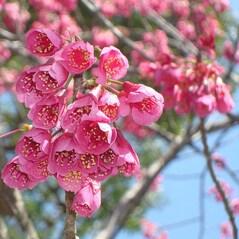 Flori de Cires Sakura in Sirop, 100 de flori - Yamashin Sangyo, Japonia